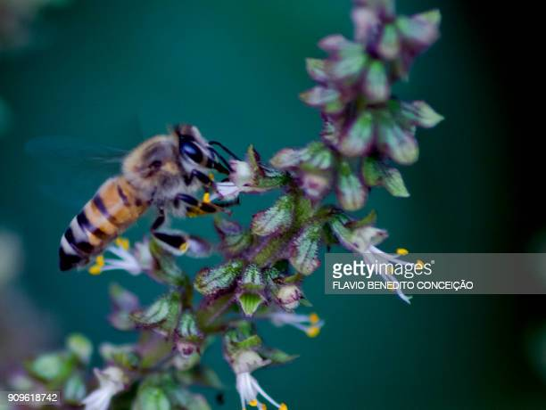bee africanized europe possesses venom in its sting, in flower in farm