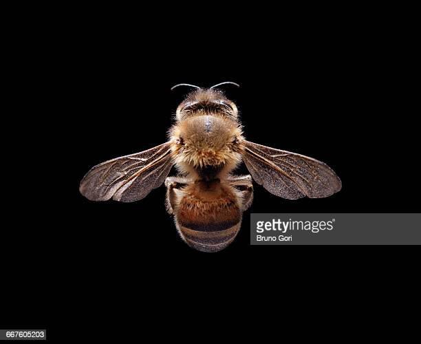 bee against black background - gliedmaßen körperteile stock-fotos und bilder