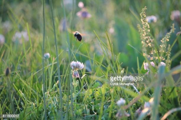 Bee and Clover