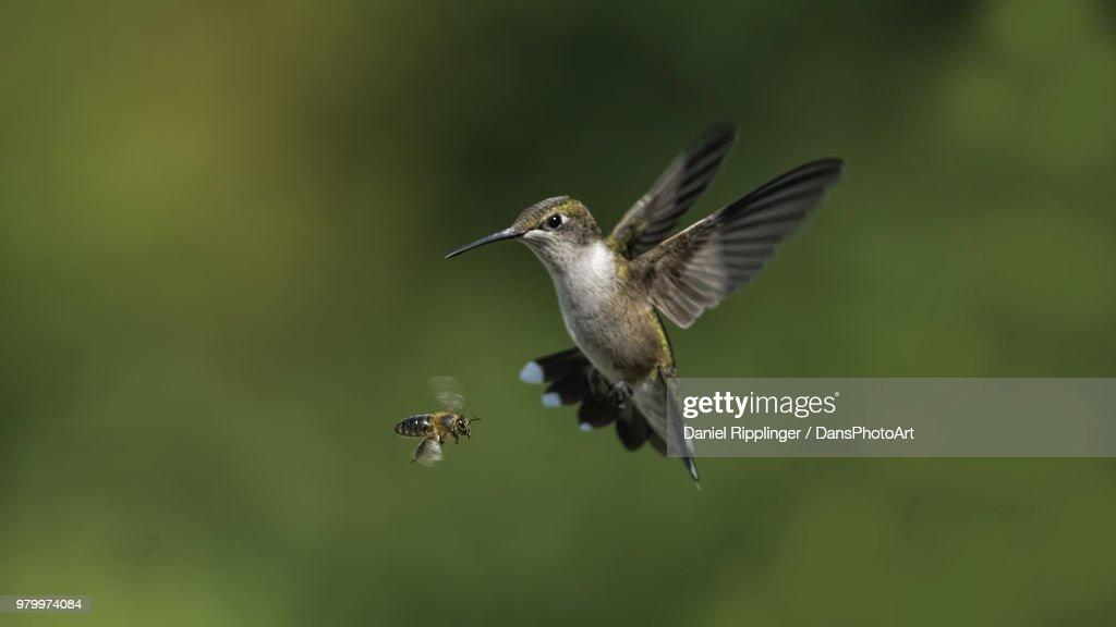 A bee and hummingbird in flight. : Stock Photo