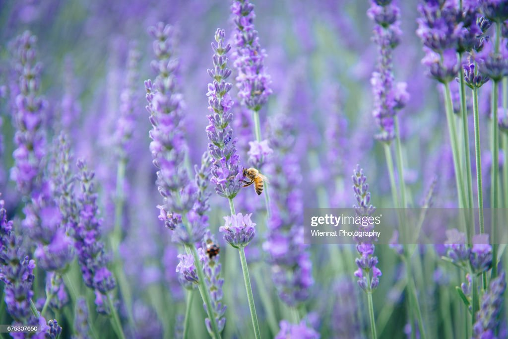 Bee and Lavender : ストックフォト