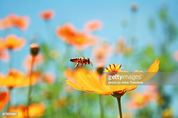 bee and wildflower  - wildflower stock pictures, royalty-free photos & images