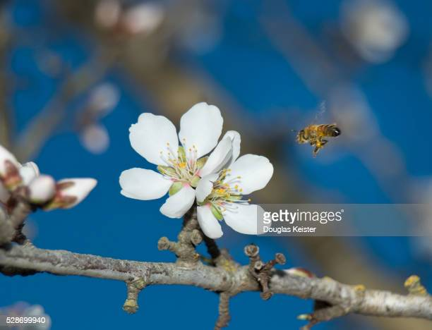 Bee Approaching Blossom on Almond Tree
