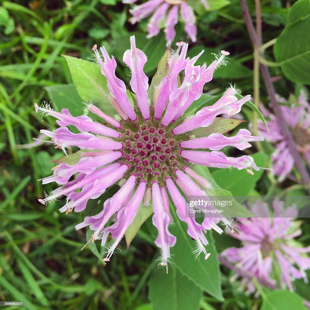 Bee Balm : Stock Photo