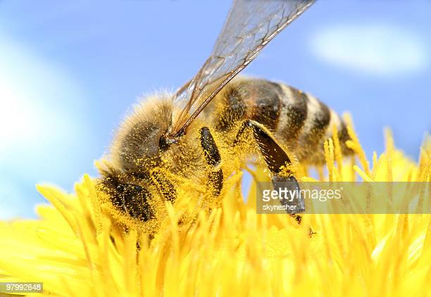 bee collecting honey - pollination stock pictures, royalty-free photos & images