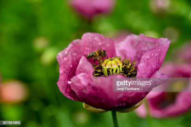 Bee collecting nectar from a wild poppy