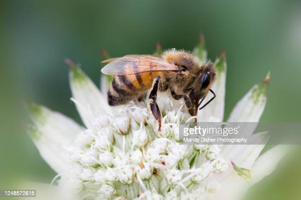 bee collecting nectar - flower stock pictures, royalty-free photos & images