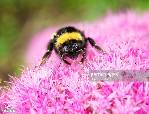 Bee collecting pollen from alium flower