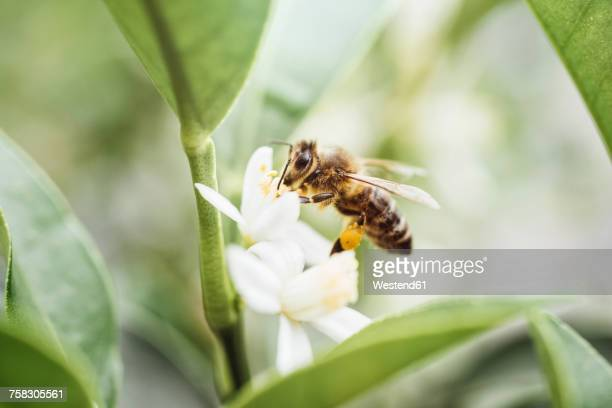 bee collecting pollen on a citrus plant - biene stock-fotos und bilder