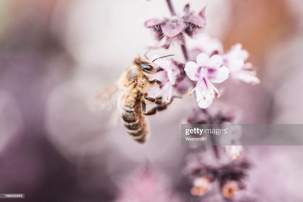 Bee collecting pollen on basil blossom : Stock-Foto