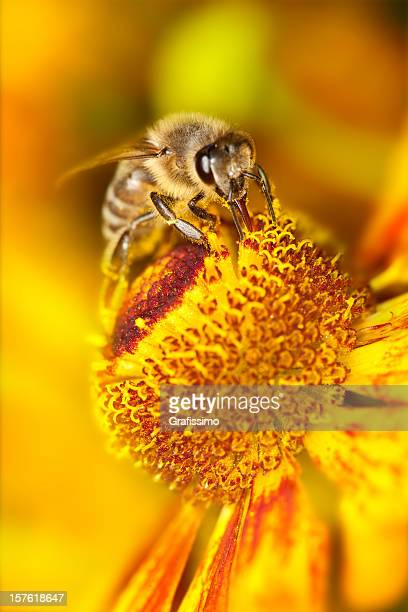 Bee collecting pollen on orange flower
