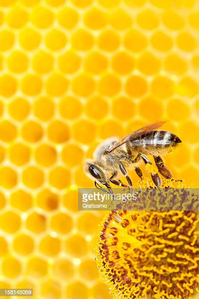 Bee collecting pollen on orange flower with honeycomb