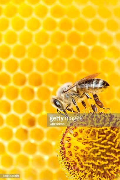 Abelha recolher pólen na Flor de laranja com Favo de mel