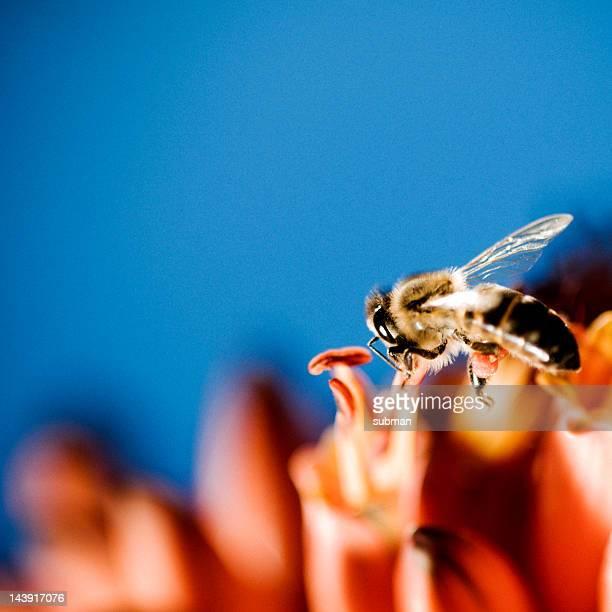 Bee sammeln von pollen