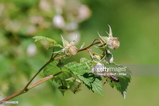 bee collects nectar - geometridae stock photos and pictures