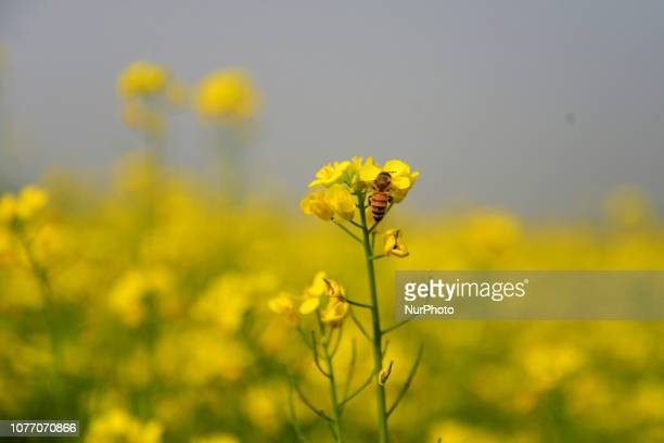 Bee collects pollen from a crop of mustard in flower in Munshigonj near Dhaka Bangladesh on January 04 2019 Mustard is a cool weather crop and is...