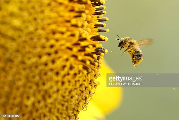 A bee collects pollen from a sunflower on September 6 2012 in Neufeld western Germany Meteorologists forecast rising tempertures up to 27 degreec...