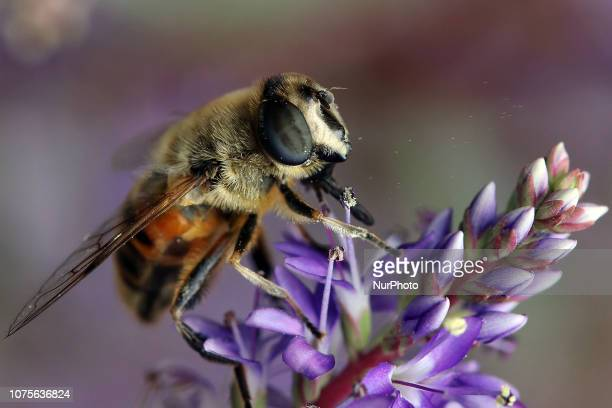 Bee collects pollen on a blossom during sunny summer weather in Christchurch, New Zealand on December 29, 2018.