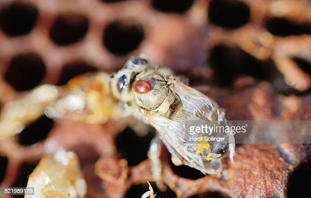 Bee colony infested with Varroa Honey Bee Mites -Varroa destructor, syn. Jacobsoni-, mite on a newly emerged, deformed Bee -Apis mellifera var carnica-, next to dead larvae, Bavaria, Germany