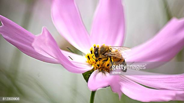 Bee Drinks Honey from Cosmos.