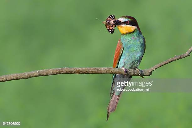bee eater catching butterfly - edoardogobattoni ストックフォトと画像