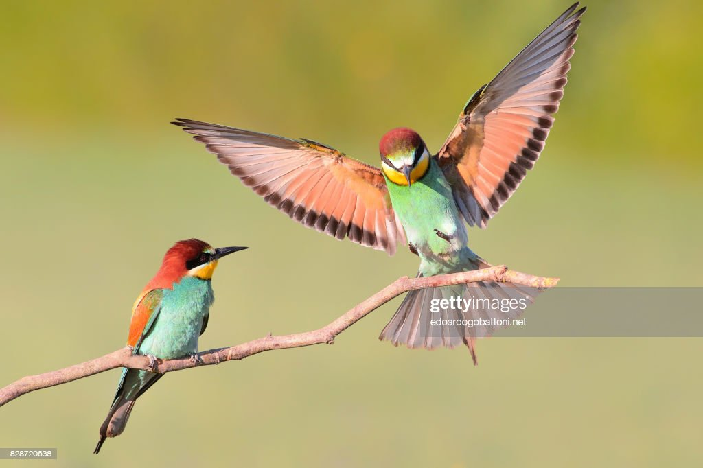 Bee eater landing on a branch #1 : Foto stock