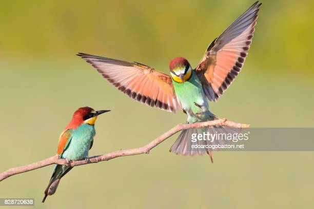 bee eater landing on a branch #1 - edoardogobattoni stock pictures, royalty-free photos & images