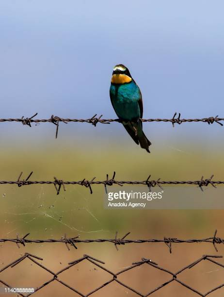 A bee eater perched on barbed wire in Gediz delta of Izmir Turkey on May 03 2019