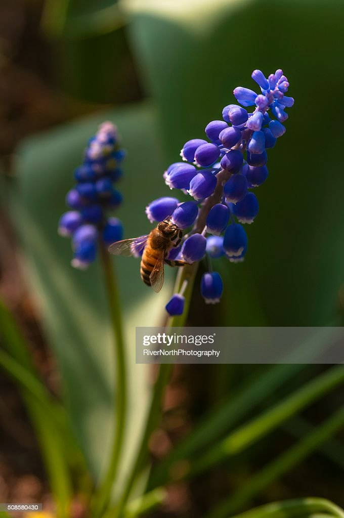 Bee feeding in a Garden : Stock Photo