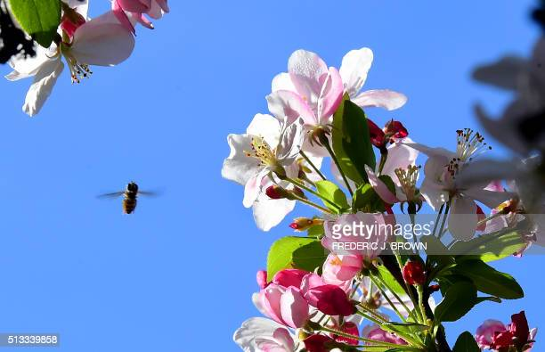 A bee feeds off the pollen of a flowering Crab Apple Tree at the Descano Gardens in La Canada Flintridge California on March 2 where blooming Spring...