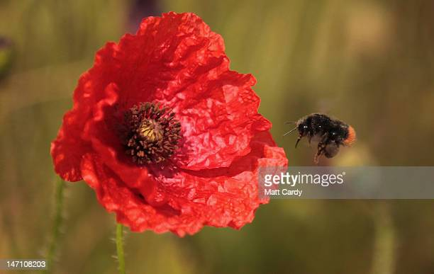 A bee flies near poppies that are blooming in a field just off the A303 near Amesbury on June 25 2012 in Wiltshire England After weeks of unsettled...