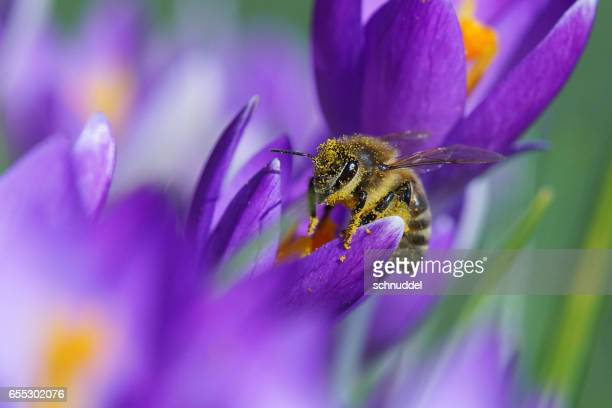 bee fly on crocus - hausgarten stock pictures, royalty-free photos & images