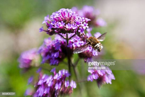 Bee fly on Verbena bonariensis