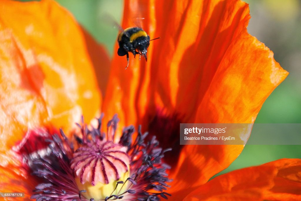 Bee Flying Into Flower : Foto stock