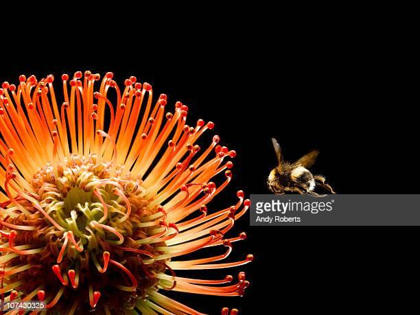 bee flying near blooming flower - bees - fotografias e filmes do acervo