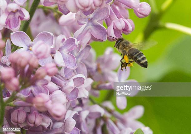 Bee flying on a flower Banie Mazurskie Poland on 18 May 2016
