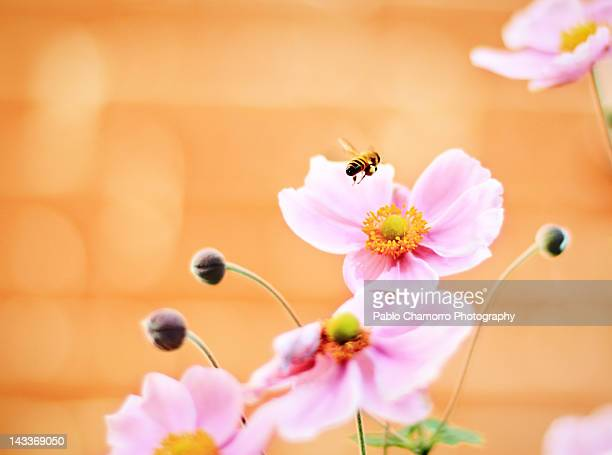Bee flying over pink cosmos flowers