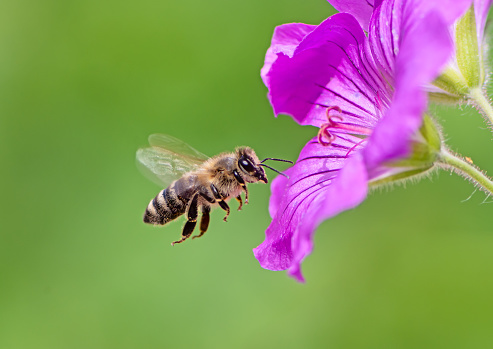 Bee flying to a purple geranium flower blossom 1005384726