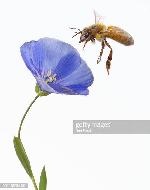 Bee flying to blue flax (Linum lewisii) blossom