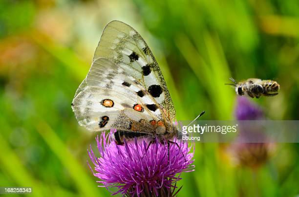 bee flying towards butterfly