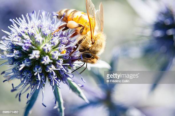 bee foraging on a blue thistle - biene stock-fotos und bilder