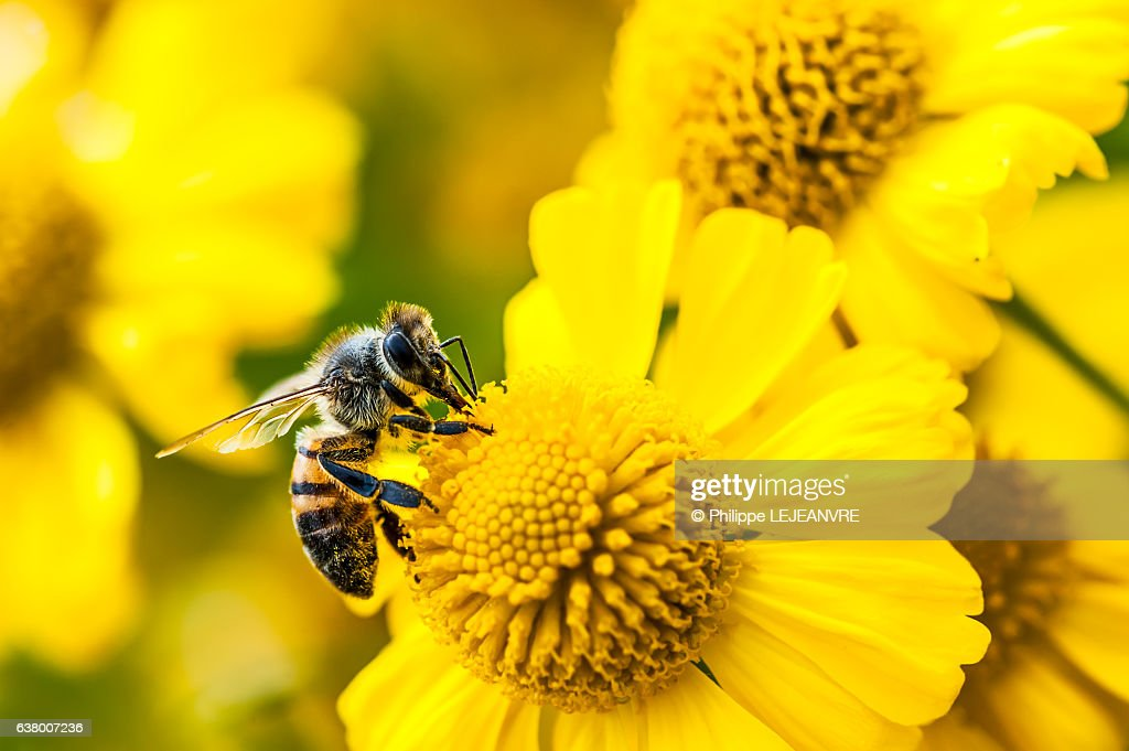 Bee gathering nectar and pollen on yellow flowers : Stock Photo