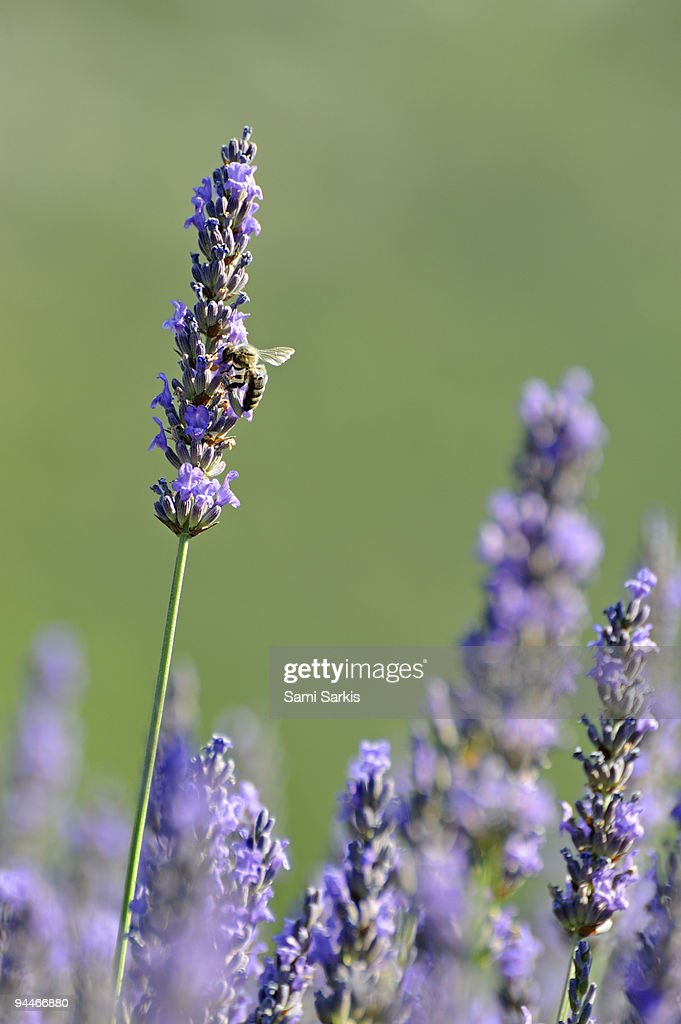 Bee gathering nectar from lavender flowers : Stock Photo