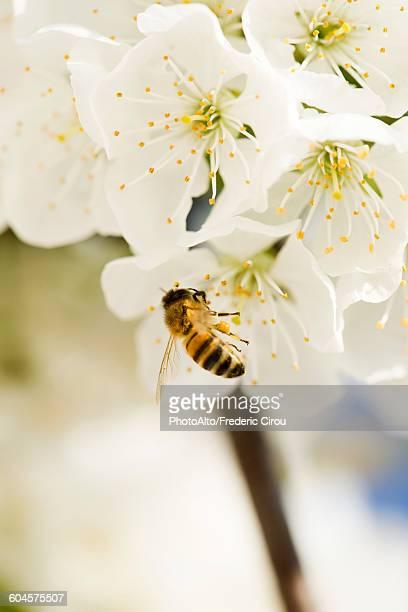 Bee gathering pollen on cherry blossom