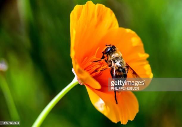 A bee gathers pollen on June 8 2018 near Godewaersvelde