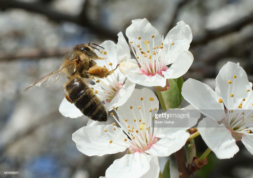 A bee harvests pollen from the flowers of a wild cherry tree near Berlin on April 25, 2013 in Blankenfelde, Germany. Local beekeepers claim their yearly loss rates within their bee populations has gone from an average of 10% per year to 30% per year over the last 10 years, though they are unsure whether the cause lies with a mite and a virus it might be spreading or with the increased use of certain pesticides by local farmers. According to a recent report prepared by Greenpeace seven pesticides currently in use in Europe present a real danger to bees. Bees are essential in nature in pollenating a wide variety of plants and trees.