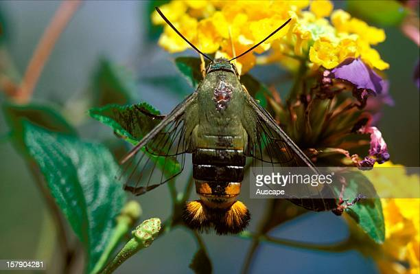 Bee hawkmoth with extruded anal brushes Australia