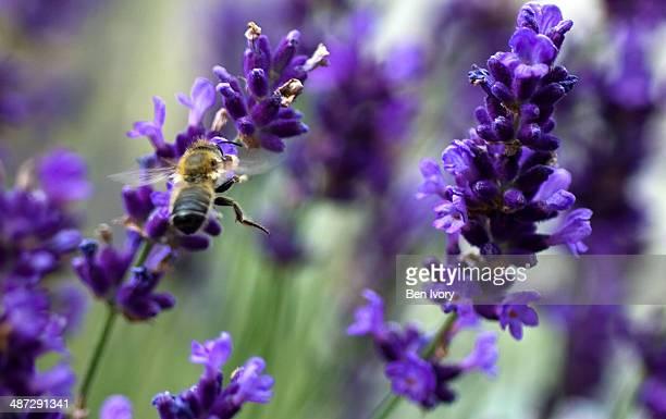 Bee hovering at lavender flower