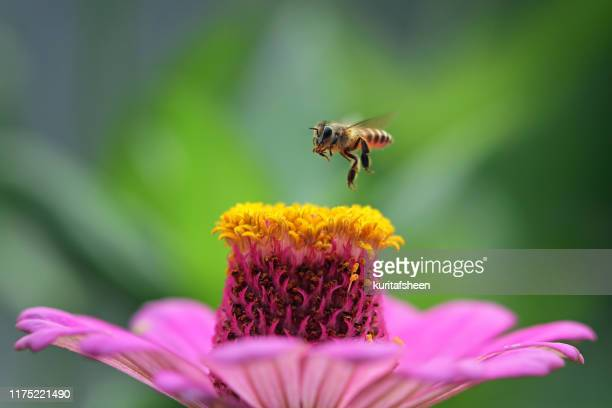 bee hovering over a flower, indonesia - symbiotic relationship stock pictures, royalty-free photos & images