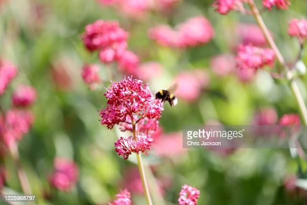 A bee hovers by flowers in the Evolution Garden during lockdown at The Royal Botanic Gardens at Kew at Kew on May 20 2020 in Richmond England The...